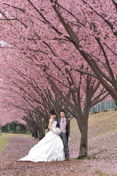 朝から雨模様の前写し、半分諦めかけていたのに凄い桜に出会いました。